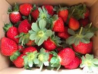 吃得到又大又甜的「蘋果草莓」!內湖18家草莓果園懶人包