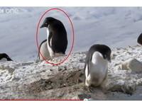「企鵝賤賊」拿鄰居的石頭築巢 偷瞄、裝傻表情超卑鄙