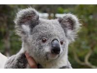 澳洲國寶無尾熊剩20萬隻 被列為瀕臨絕種動物《ETtoday 新聞雲》