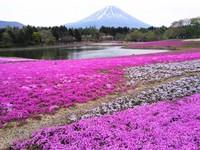 不必人擠人!到東京郊區賞「芝櫻」草地上的櫻花