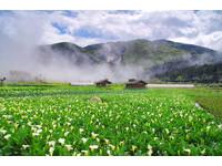台北近郊3大超美鄉村景點!賞櫻花、海芋、落羽松、繡球花