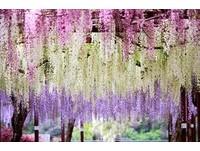 網羅立山雪牆、櫻花、紫藤花 4至6月遊日本最精彩!