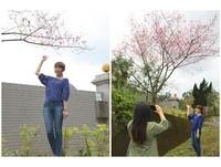 賞櫻季節到了 第一株櫻花綻放出現在坪林