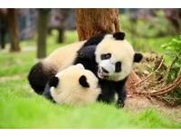 史上最萌!四川看貓熊6大熱門地點 黑白魅力無法擋