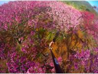 1月就「爆紅」!雙北櫻花提早盛開 捕捉最美粉紅花海