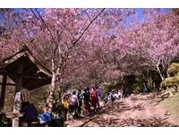 粉紅仙境!賞櫻不只日本 泰國清邁「馬卡龍粉」櫻花仙氣滿分