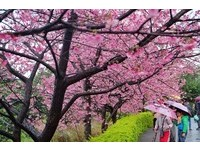 拍美照趁現在!淡水天元宮三色櫻滿開 粉紅花海美翻