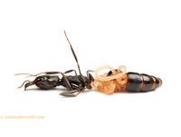 鋸針蟻遭20公分寄生蟲腰斬 扭曲蟲身自胸腹裂口竄出