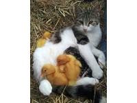 貓媽媽大愛照顧3小鴨 還發出幸福呼嚕聲