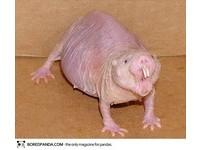 22種「你可能沒聽過」的奇獸─裸鼴鼠 Naked Mole Rat。(圖/取自BoredPanda)