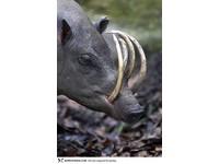 22種「你可能沒聽過」的奇獸─鹿豚 Babirusa。(圖/取自BoredPanda)