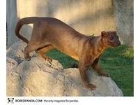 22種「你可能沒聽過」的奇獸─馬島長尾狸貓 Fossa。(圖/取自BoredPanda)