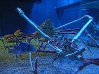 22種「你可能沒聽過」的奇獸─甘氏巨螯蟹 Japanese Spider Crab。(圖/取自wiki)