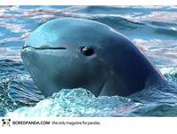 22種「你可能沒聽過」的奇獸─短吻海豚 Irrawaddy Dolphin。(圖/取自BoredPanda)