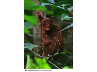 22種「你可能沒聽過」的奇獸─貓猴 Sunda Colugo。(圖/取自BoredPanda)
