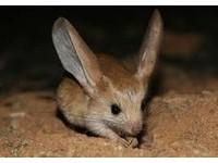 22種「你可能沒聽過」的奇獸─巨泡五趾跳鼠 Gobi Jerboa。(圖/取自rxbbx)