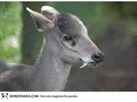 22種「你可能沒聽過」的奇獸─黑麂 Tufted Deer。(圖/取自BoredPanda)