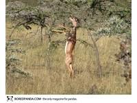 22種「你可能沒聽過」的奇獸─長頸羚 Gerenuk。(圖/取自BoredPanda)