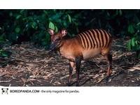 22種「你可能沒聽過」的奇獸─斑背小羚羊 Zebra Duiker。(圖/取自BoredPanda)