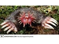 22種「你可能沒聽過」的奇獸─星鼻鼴 Star-Nosed Mole。(圖/取自BoredPanda)