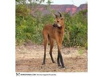 22種「你可能沒聽過」的奇獸─鬃狼 Maned Wolf。(圖/取自BoredPanda)