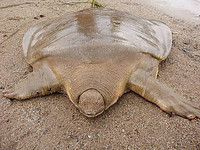 22種「你可能沒聽過」的奇獸─黿(音同圓) Cantor's Giant Soft Shelled Turtle。(圖/取自BoredPanda)