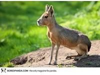 22種「你可能沒聽過」的奇獸─巴塔戈尼亞豚鼠 Patagonian Mara。(圖/取自BoredPanda)
