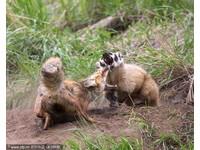 狐狸媽大戰不速獾 大角羊「鄉民」看好戲