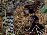 花豹獵殺母猴心生愧疚? 竟當起小猴的養母!