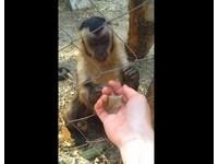 黑帽卷尾猴超聰明 招手示意求人壓碎落葉