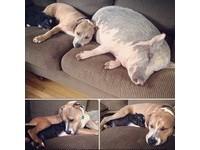 2豬2狗在同屋簷下成長 一起睡覺玩耍、烤暖爐