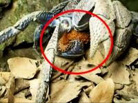 瀕絕椰子蟹小琉球抱卵現蹤 保育學者振奮