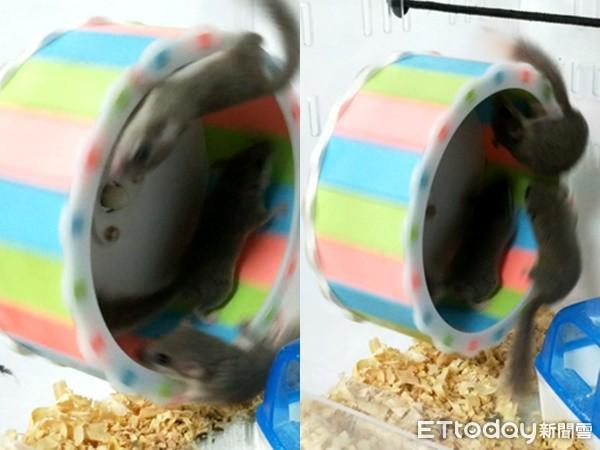 ▲3隻西班牙睡鼠,阿肥、米寶和小蜜。(圖/網友范小姐提供,請勿隨意翻拍,以免侵權。)