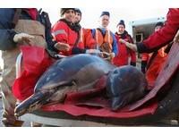 異象!60隻海豚集體擱淺 專家困惑