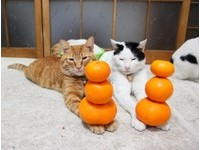 貓叔家族拜年花招不斷 頂橘子功力又進階