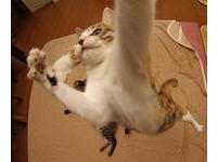 一屋子「重量級貓咪」 新春集體逗貓棒特訓!