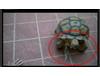 你絕對沒有看過「烏龜打手槍」!