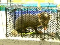 嘉義鼬獾咬傷小孩、狗狗遭擊斃 送驗才知有狂犬病