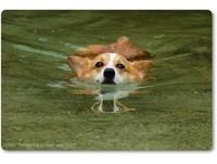 柯基犬「卡內」到墾丁小巴里島晨泳 與潛水客同樂