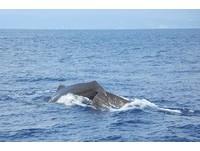 花蓮外海6-8隻抹香鯨現蹤 今年夏天數量最多一次