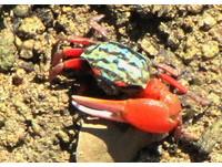新發現!「紅腳仙」招潮蟹在澎湖