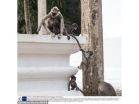 小猴爬牆:媽,您的尾巴有夠長!