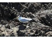 出現了!全球僅50隻 「神話之鳥」現身馬祖
