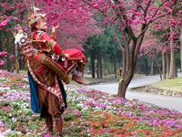 花初綻 九族櫻花祭今啟動 同場加映航海王