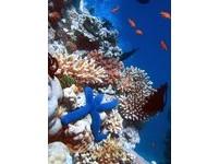 澳洲大堡礁世界最大珊瑚礁生態 魚鷹礁能見度達40公尺