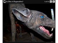 「卓柏卡布拉」再現?德州藍狗無毛藍眼,吸雞血不吃肉