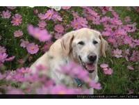 「珍惜每一天,勇敢面對生死」 女主人收養退休導盲犬