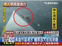 動物也避難!康芮颱風大淹水 鱷魚現身高雄大順路