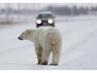 我們無處可去了...棲地減少人變多 北極熊射殺數量爆2倍