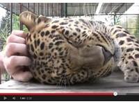 美洲豹遇飼育員變小貓咪 抱住人手享受抓頭幸福